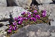 Purple Mountain Saxifrage 4621-15