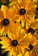 Black-Eyed Susans 0853-06