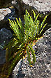 Fern in Rock 1445-09